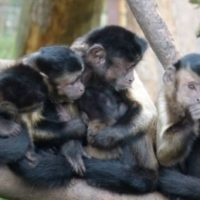 Like humans, capuchin monkeys can determine probability, study finds