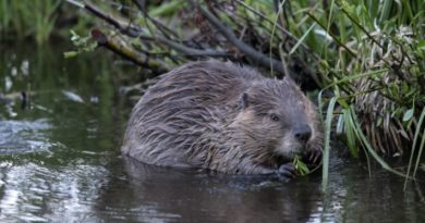 Beavers are dam important for the ecosystem