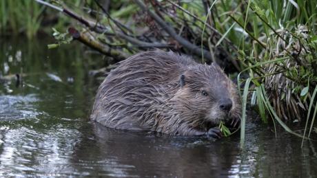 beaver op-ed